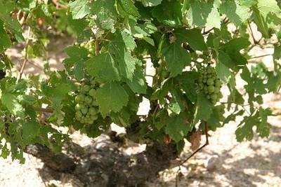 Raisins sauvés face Est Fleuri Point du Jour